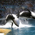Water sprays from killer whales which perform during a show at the Marineland aquatic park in Antibes